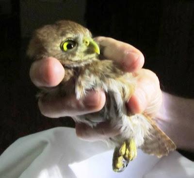 Ferruginous Pygmy-Owl Nicaragua