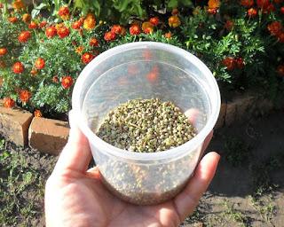 10.08. Провеял на ветерке семена шпината. Теперь семян хватит на много лет.