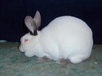 Jenis-jenis Kelinci, Californian