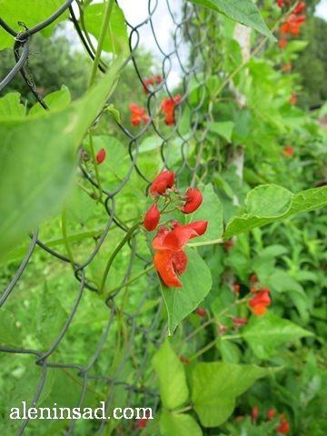 фасоль, вьющаяся, Phaseolus, аленин сад, цветы, июль