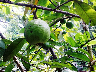 How to Starting a Guava Farming Business
