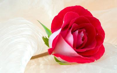 toko bunga jual bunga mawar merah jakarta