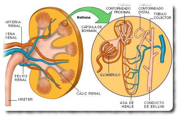 Enfermería de la vejez: Sistema renal cambios