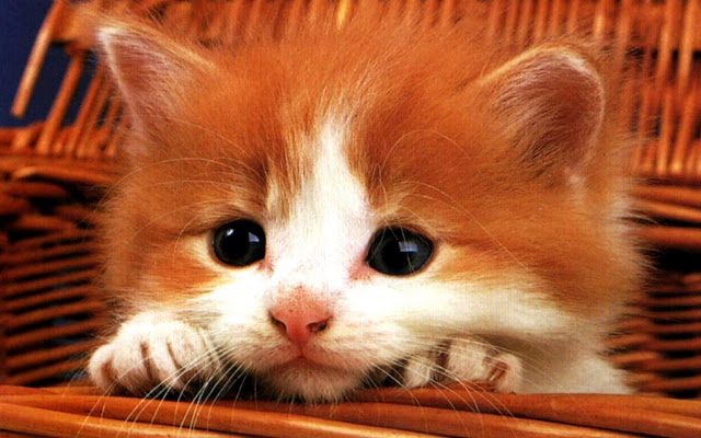 Cute red kitty.