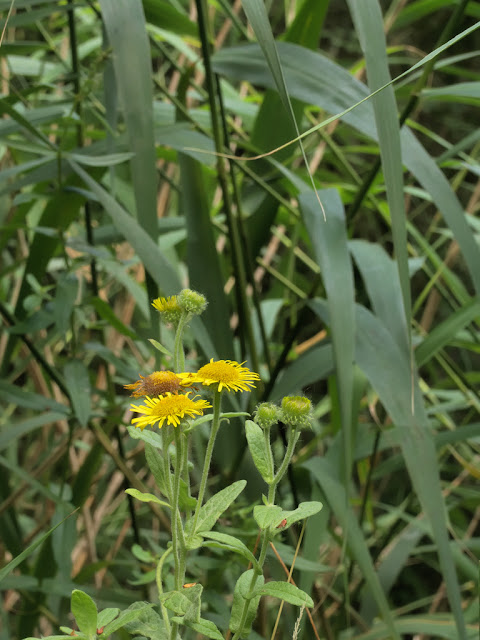 Common fleabane in reeds