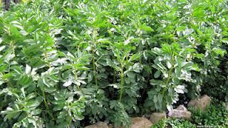 Κουκιά σπορά φύτεμα καλλιέργεια