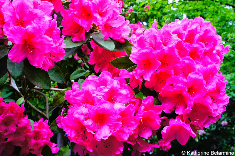 Rhododendron in Crystal Springs Rhododendron Garden Portland Oregon