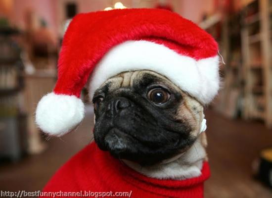 Pug in Christmas cap.