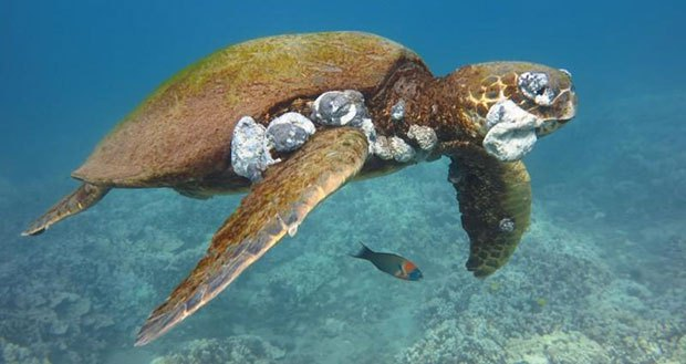 Green sea turtles dying in unprecedented numbers by virus, cold weather off Tampa coast
