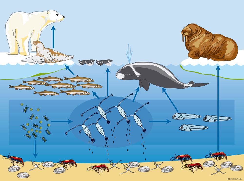 The Arctic Food Chain on Life Cycle Of A Mammal Worksheet