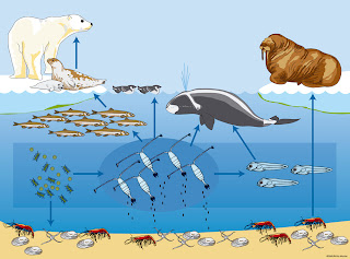 Polar Bear Food Chain