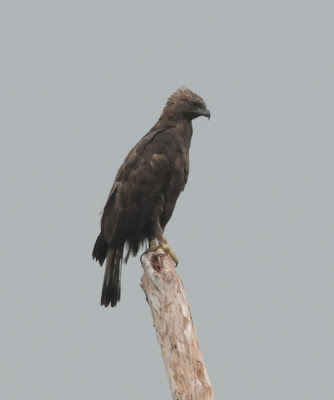Changeable Hawk-Eagle (Nisaetus cirrhatus limnaeetus)