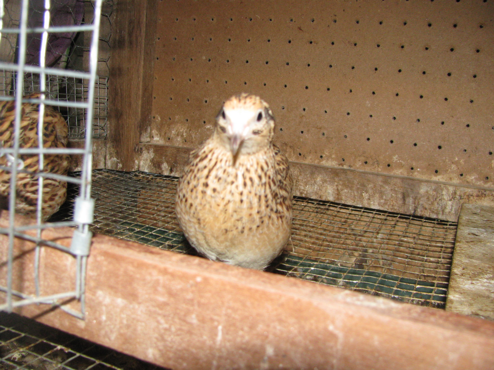 High Lonesome Homestead: Raising Japanese Coturnix Quail Raising Quail