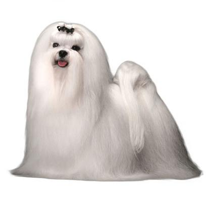 Small Dog With Long Hair To The Floor