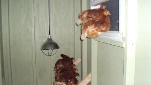 Chicks - 10 weeks