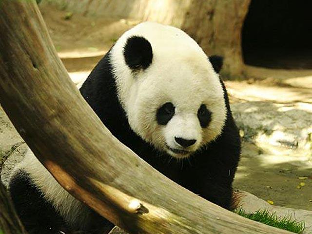 Panda Bear Wallpaper Gratis Gambar Background Wallpaper