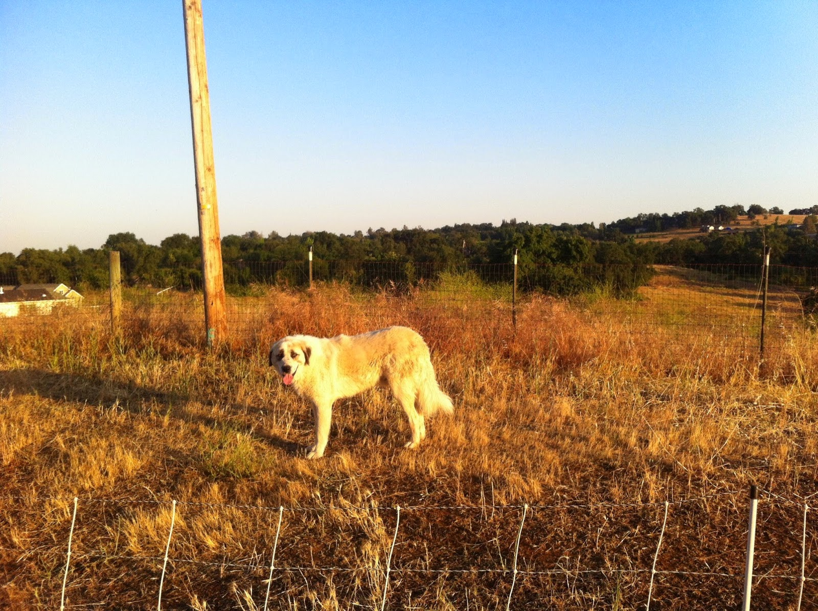 Using Livestock Guardian Dogs in a Small-Scale Commercial Sheep Operation: One Ranch's Approach