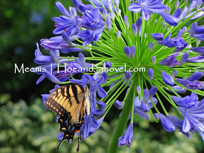 Swallowtail on Agapanthus