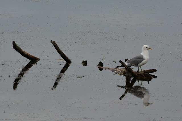 Seagull Alaska