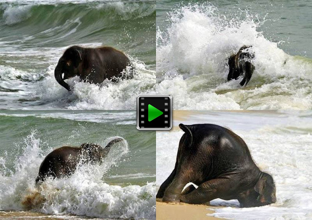 When a baby elephant sees the sea for the first time.