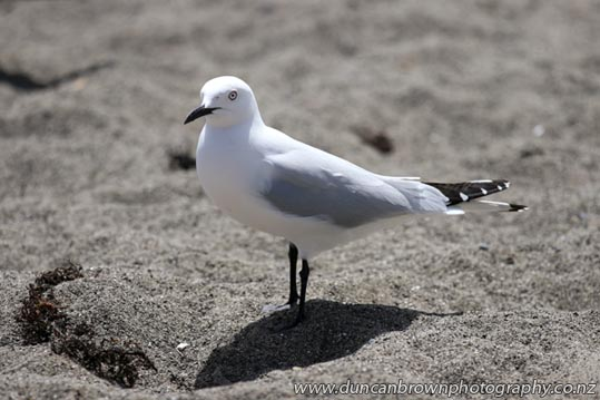 The black-billed gull (Chroicocephalus bulleri), which is found only in New Zealand. photograph