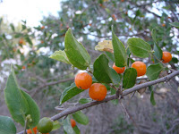 Yunnan Hackberry Fruit Images
