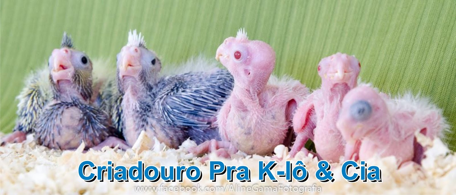 Criadouro Pra K-lô & Cia - Calopsitas Mansas - RJ