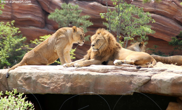 Pareja de leones en el Lost Valley de Everland