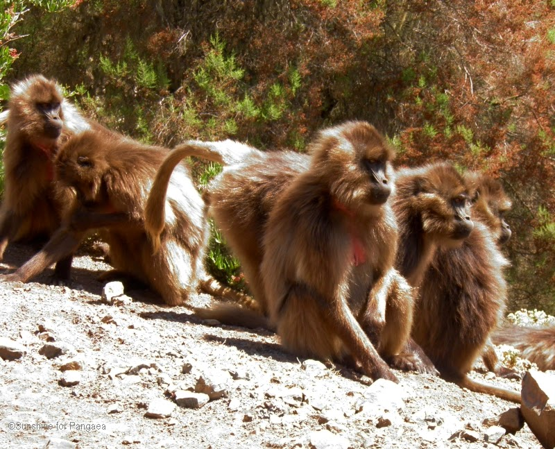 Simien Mountains National Park Geladas
