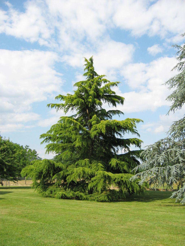 Deodar Cedar Tree Varieties ~ Trees planet cedrus deodara deodar cedar