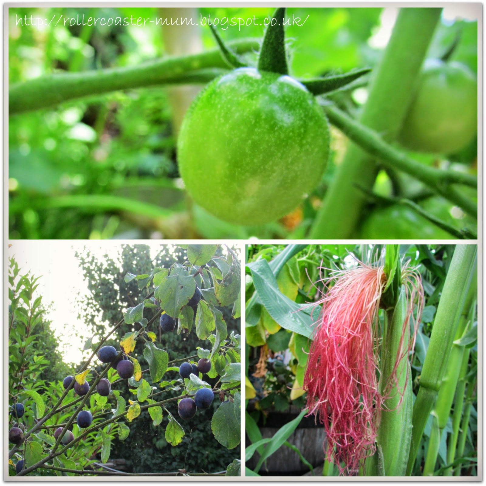 Tomatoes, sweetcorn, plums, Grow Your Own