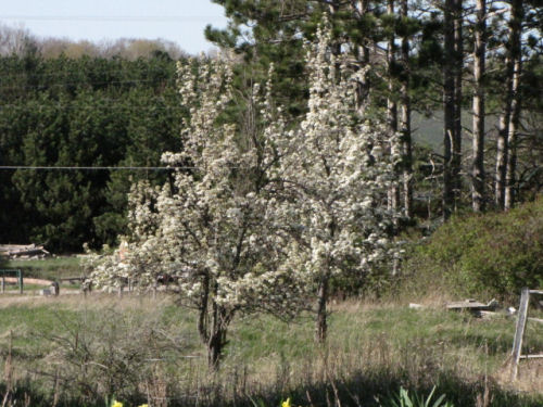 pear trees in bloom