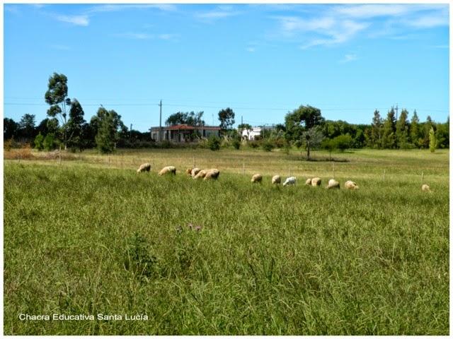 Ovejas pastando - Chacra Educativa Santa Lucía