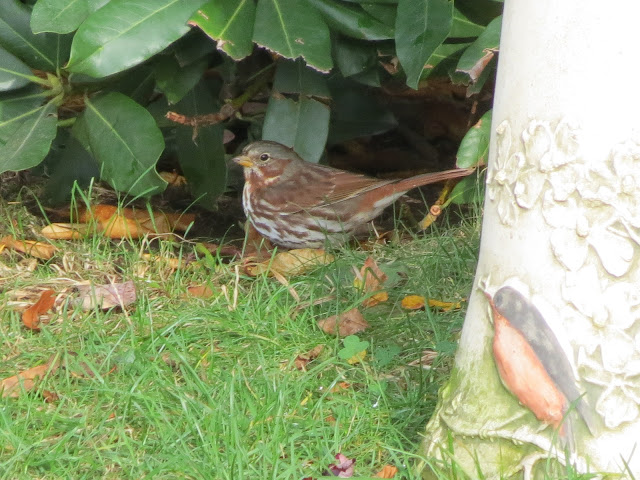 fox sparrow near bath