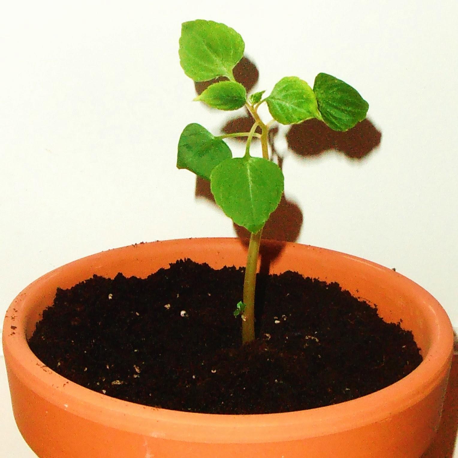 La ventana de javiruli plantas de interior 23 esqueje de alegr a del hogar impatiens - Planta alegria del hogar ...