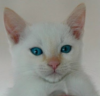 Colorpoint Shorthair Cat Pictures