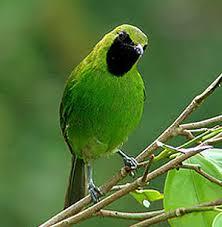 Burung Cucak Hijau : Habitat Burung Cucak Hijau