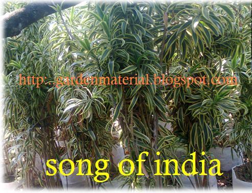 song of india untuk material sewa tanaman hias dengan warna bervariasi