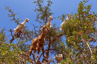 Goats are excellent climbers of the argan tree photo by Grand Parc Bordeaux France