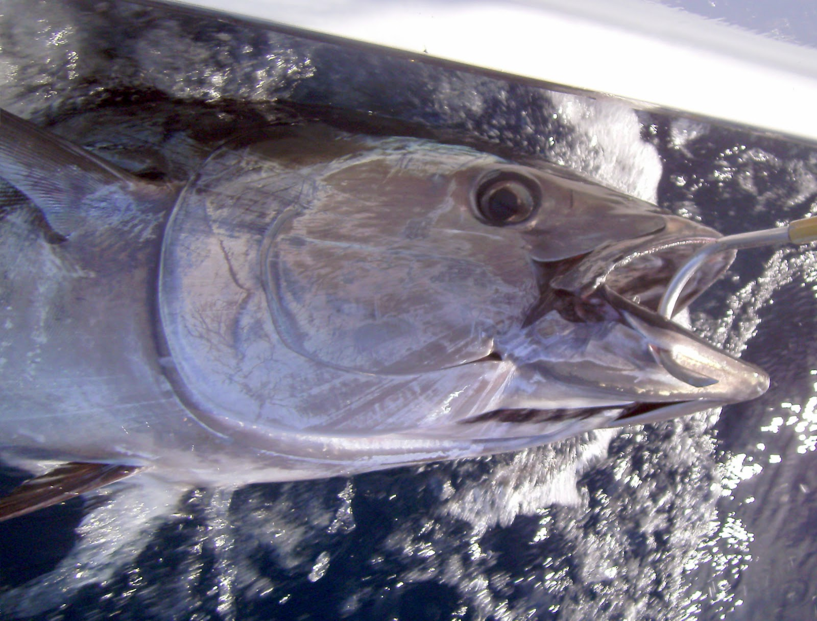 Top water charters fishing reports and news beaufort for Tuna fishing oregon