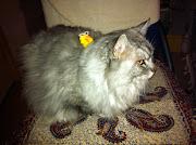 cat animal wallpaper kucing little cute angora persian species cat
