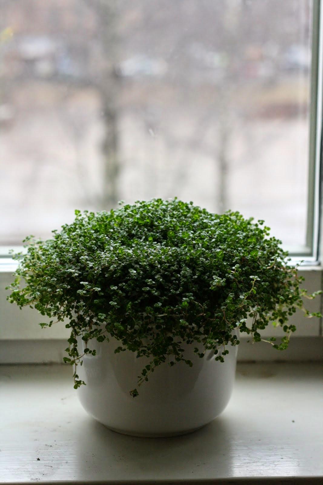 Planta Madre De Mil O Parietaria E Jardineria