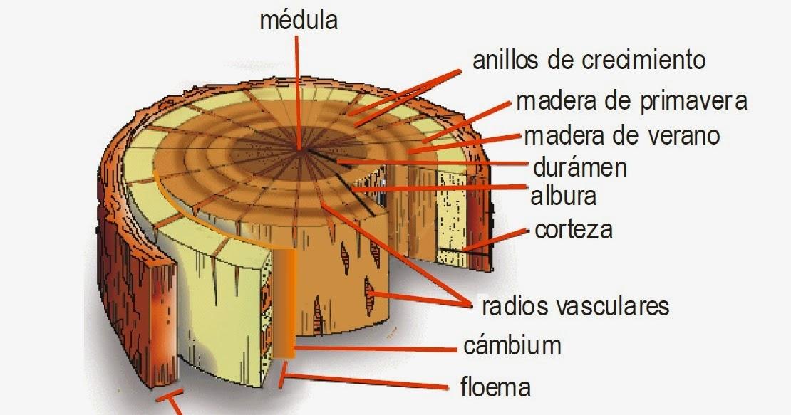 Generalidades de la madera jesus hernandez pomier for La beta de la madera