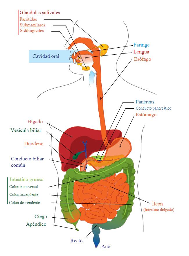 Aparato Digestivo: anatomía y fisiología - Dr. Alberto Sanagustín