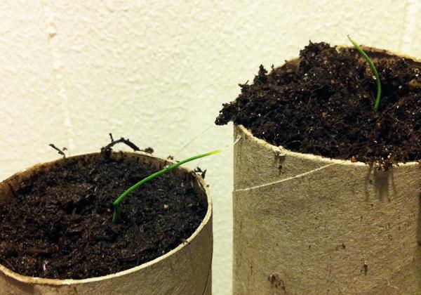 Purjolökar som växer i toarullar