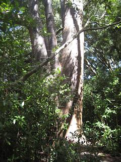 New Zealand Kauri Tree