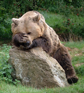 brown bear doing face palm while lying on a large rock