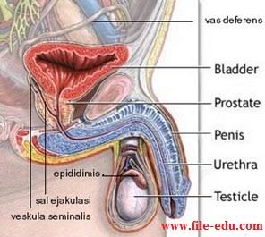 Sistem reproduksi laki laki dan perempuan