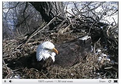 eagle on her nest