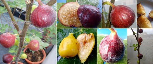 Tanaman Pokok buah tin malaysia